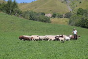 The cattle fair